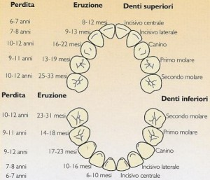 schema eruzione dentaria